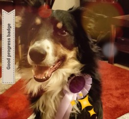 Pets  - Border Collie For Stud Service