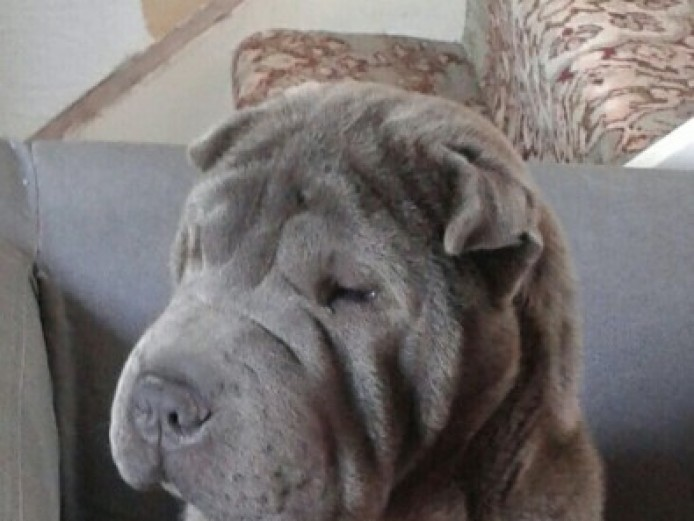 ..amazing.. Kc Reg Blue Shar Pei For Stud