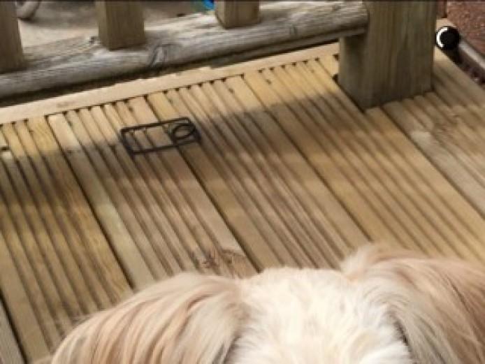 Lhasa Apso Dog For Stud