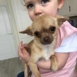 1.25kilo Extra Small Cuddly Female Cream Chihuahua