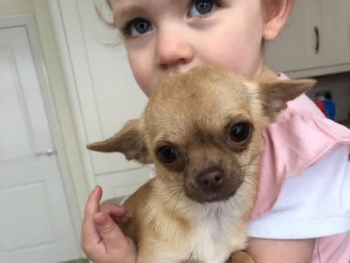 1.25kilo Extra Small Cuddly Female Cream Chihuahua