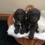 Chocolate F1 Cockerpoo Puppies