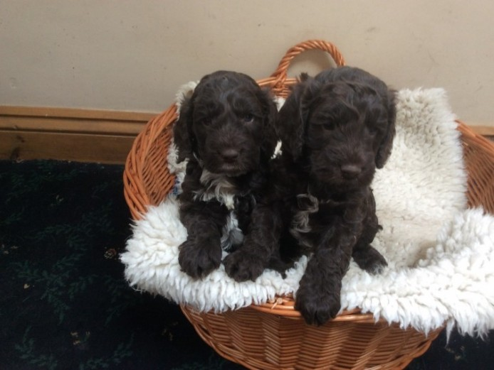 Chocolate F1 Cockerpoo Puppies