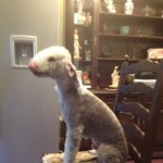 Kc Registered Bedlington Blue Dog For Stud