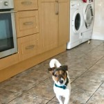 Lovely Jack Russel For Sale