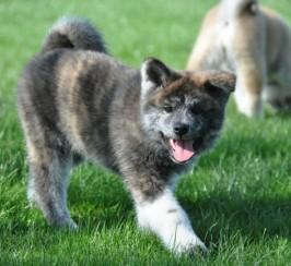 Kc Japanese Akita Inu Puppies