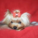 Kc Reg Yorkshire Terrier