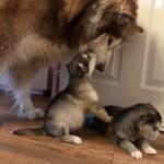 2 Bitch Malamute Puppies For Sale
