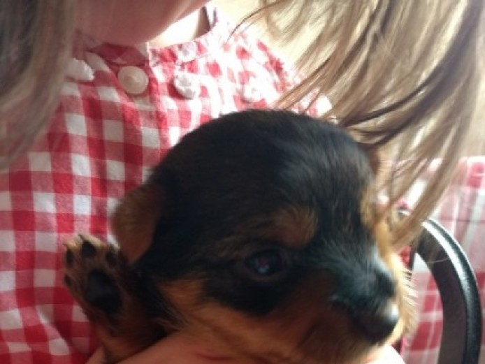 Beautiful Pedigree Yorkshire Terrier Puppies