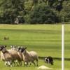 Pets  - Quality Trial Winning Sheepdog For Studd