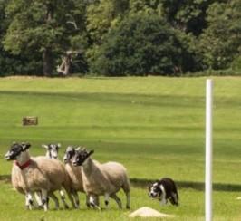 Quality Trial Winning Sheepdog For Studd