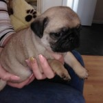 Kc Registered Pug Puppies For Reseve