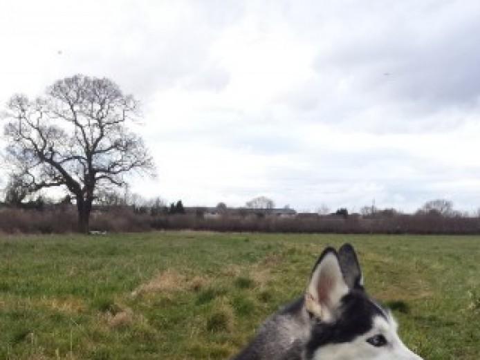 Full Breed Siberian Husky Stud