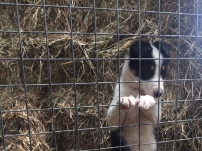 Cute. Cuddly Sheepdog Pups