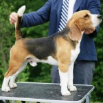 Exclusive To The Uk . Tri Colour Beaglier Puppies