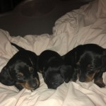 Pra Clear Black And Tan Puppies