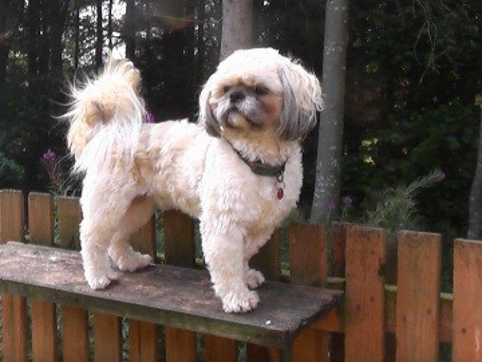 Kc Reg Shih Tzu ..super 200 Stud.. Harvey .scotland.