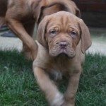 Ready Now Kc Reg Dogue De Bordeaux Pups