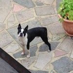 Outstanding Stud Boston Terrier Kc Reg
