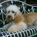Stunning Mini Poodle Stud. Extensive Health Tests