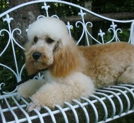 Stunning Mini Poodle Stud. Extensive Health Tests