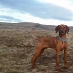 Proven Hungarian Vizsla For Stud.