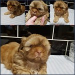 Shih Tzu  Boy Puppys For Sale