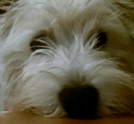 Pets  - Gorgeous Proven West Highland Terrier For Stud