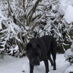 Blue Cane Corso For Stud
