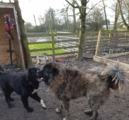 Pets  - Stunning Caucasian Shepherd Stud