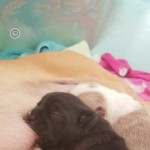 3 Beautiful Little Chippet Boy Puppies For Sale