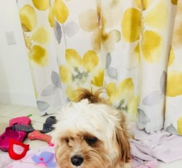 Pets  - Handsome F1 Cavachon Available To Stud