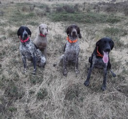 Pets  - Katelands Caisteal A..torr Outstanding Gsp At Stud