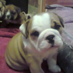 Healthy Kc Reg Female Pup For Sale