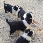 Kc Reg Border Collie Puppies