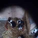 Farm Reared Border Collie Pups