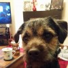 Pets  - Blue And Tan Kc Reg Quality Border Terrier For Stu