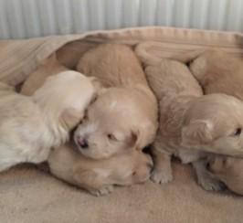 Westiepoo Puppies