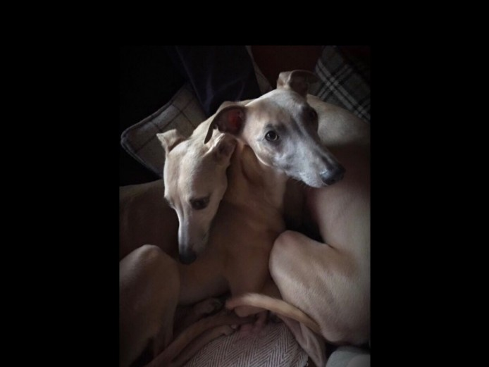 Kc Reg Whippet Pups Due Soon. Fawns Expected.