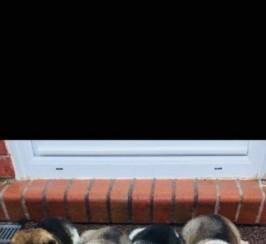 4 Stunning Japanese Akita Puppies