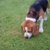 Pets  - K.c Reg. Tri.col  Beagle For Stud ..
