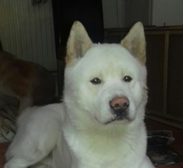 White Akita Male For Stud