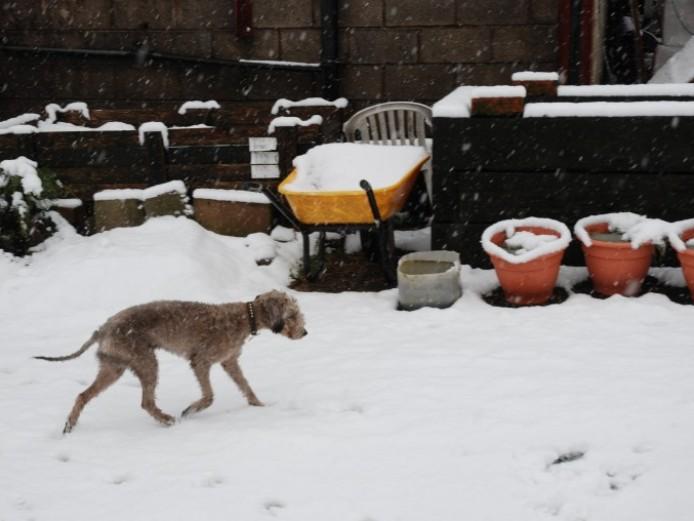 Bedlington Terrier Kc Reg At Stud