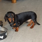 Kc.reg Mini Smooth Dachshund
