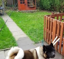 Pets  - Kc Akita Dog For Stud