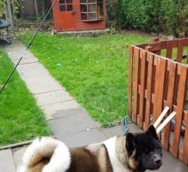 Kc Akita Dog For Stud