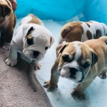 Stunning Litter Of Bulldogs . Ready To Leave