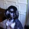 Pets  - Kc Excellent Phantom Poodle Stud Pra Clear