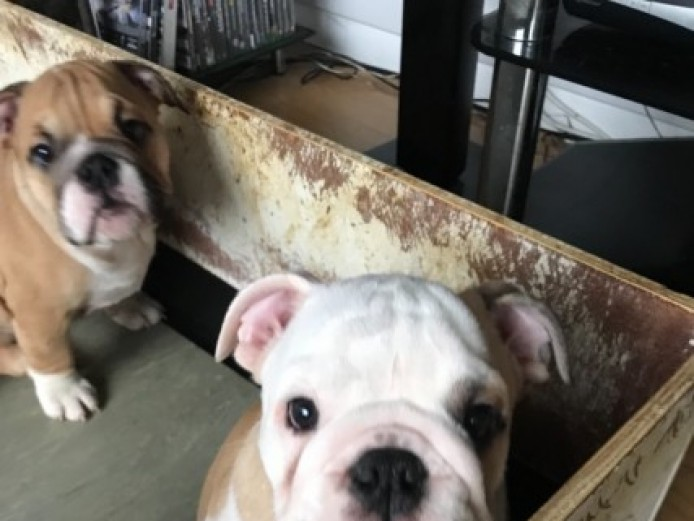 Beautiful Boy Bulldog Puppy