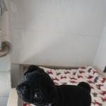 Pug Pupdonmic Black